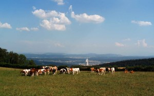 Kühe auf der Burgweid mit Atomkraftwerk im Süden